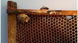 Рождение пчелиной Матки